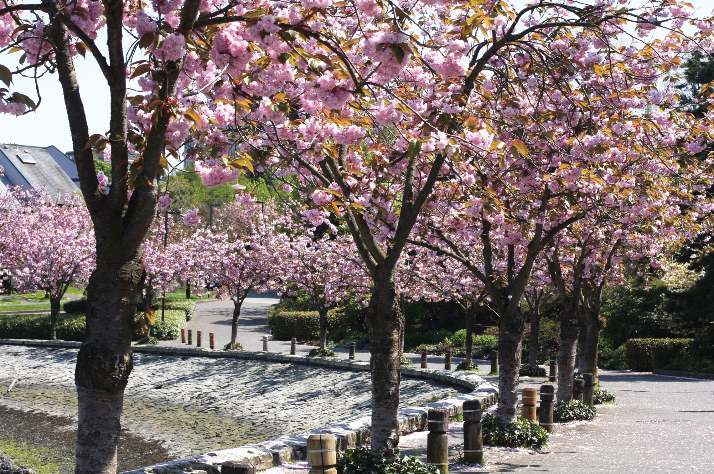 It's Not Too Late to Take in the 2018 Vancouver Cherry Blossom Festival